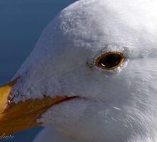 Bodega Bay Gull by Kirstyshots