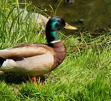 Mallard Duck by Rosalie Scanlon