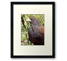 Harris's Hawk ~ Profile  Framed Print