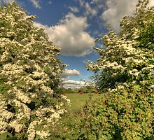 Whitethorn Hedge by John Quinn