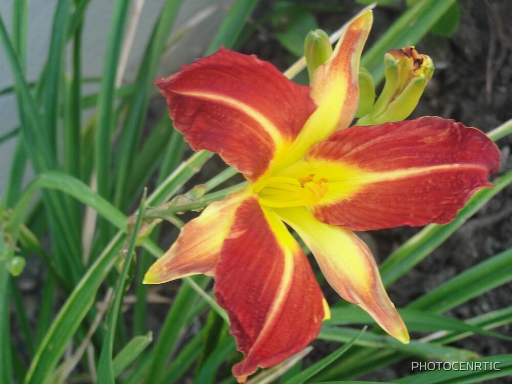 Beautiful Lily by PHOTOCENRTIC