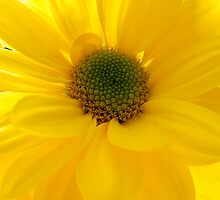 yellow daisy  by Fe Messenger