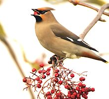 the waxwing and the berry part 5 swallowing dinner by Grandalf