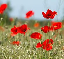 red poppies on the field by vkph