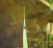 Blue Damsel Fly #2 by Sandra Cockayne