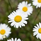 White Dasies by Edward Myers