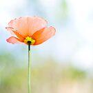 poppy by etoile