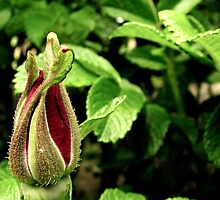 Embryonic Rosehip in Red by Patty Gross