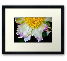 Peony - Alley Cat Framed Print