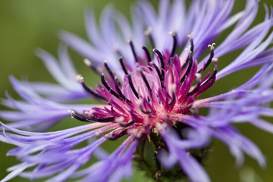 Cornflower by Ray Clarke