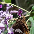 Silver Spangled Skipper in Buddleia by May Lattanzio