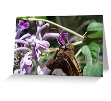 Silver Spangled Skipper in Buddleia Greeting Card