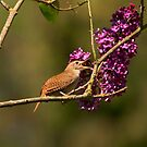 HOUSE WREN by Sandy Stewart