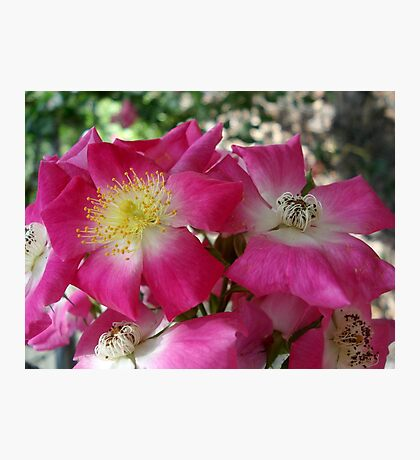 The south's Seven Sister Roses Photographic Print