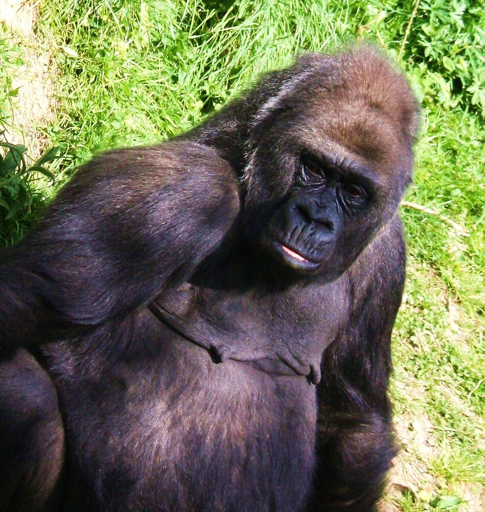 Silverback Gorilla by Mounty