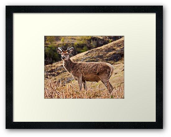 Red deer stag in Glencoe by Shaun Whiteman