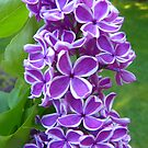 Sensation Lilacs by MaryinMaine