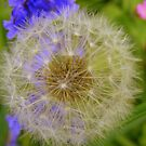 Dandelion Detail by Rob Parsons