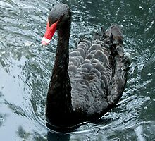 Black Swan by Ryan Conners
