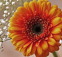 Gerbera with Gypsophila by OpalFire