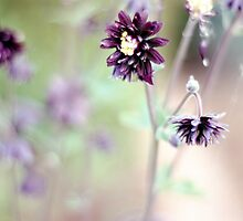 Aquilegia blooms by Lissywitch