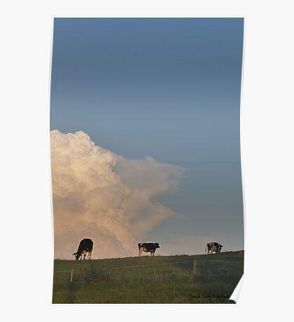 Hilltop Cows Poster