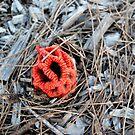 Red Fungi by robert murray