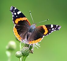 Red Admiral Butterfly by Teresa Zieba