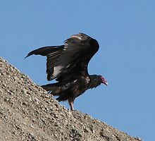 Turkey Vulture too by swaby