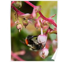 bee in salal blossom  Poster