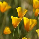 Poppies by Kirstyshots