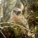 Baby Owl by David Lee Thompson