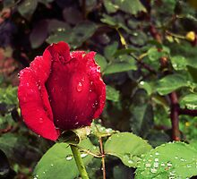 Dew Drops on Red Rose Petals by Denis Marsili - DDTK