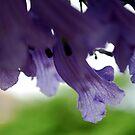 Softly the Jacaranda by Lozzar Flowers & Art