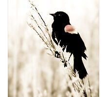 Redwinged Blackbird by Theodore Black