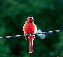 Cardinal on the Line by Ryan Conners