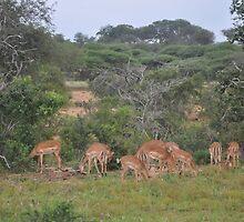 Impala Herd in South Africa by Rod Hawk