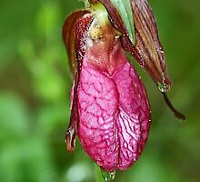 Moccasin Flower by Teresa Zieba