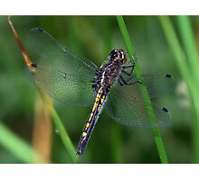 Female Hudsonian Whiteface dragonfly. Photographic Print