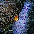 Clownfish in Anemone by Denise J. Johnson