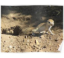 Round-tailed Ground Squirrel ~ Baby Poster