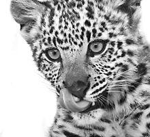 Snow Leopard Kitten Black and White by Anne McKinnell