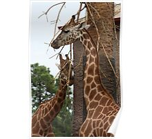 Giraffe's at Adelaide Zoo Poster