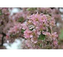 Spring Blush Photographic Print