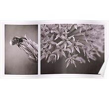 Globe Allium Poster