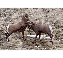 Big Horn Rams     #7812 Photographic Print