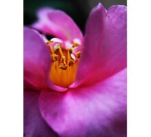 Pink Camellia's Heart Photographic Print