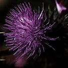 Thistle by Evita