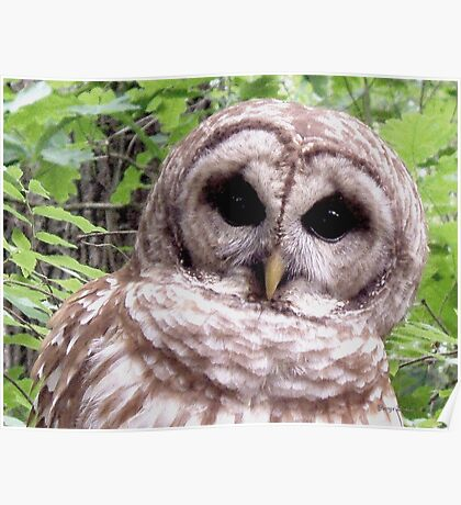 Colors of Nature - Owl 001 - Who Me ? Poster