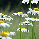 Shasta Daisies by Michele Markley